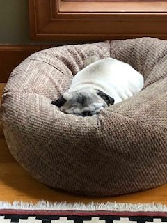 pug sleeping in a dog bed.