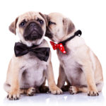Two Pugs Cheek To Cheek